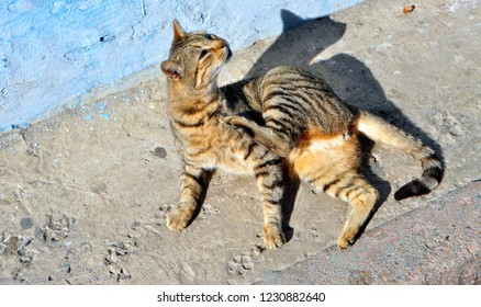 Sunbathing Moroccan Tabby Stray Cat from Kasbah of the Udayas / Oudayas, Rabat, Morocco