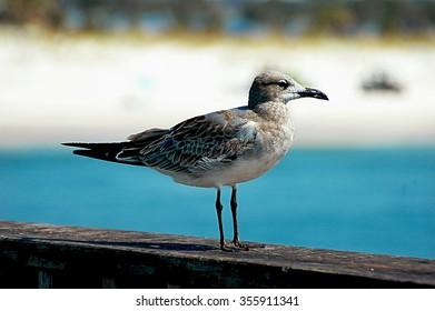 sunbathing seagull