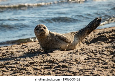 Sunbathing seal at Grenen, Skagen