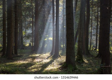 Sunbeam entering rich deciduous forest misty morning with old alder trees in foreground