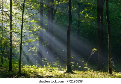 Sunbeam entering rich deciduous forest in misty morning with old hornbeam trees in foreground, Bialowieza Forest, Poland, Europe