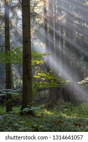 Sunbeam entering rich mixed forest in morning with broken spruces in foreground, Bialowieza Forest, Poland, Europe