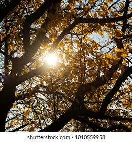 Sunbeams light through yellow crown of a cherry tree in autumn