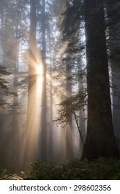 Sunbeams in misty redwood tree forest.