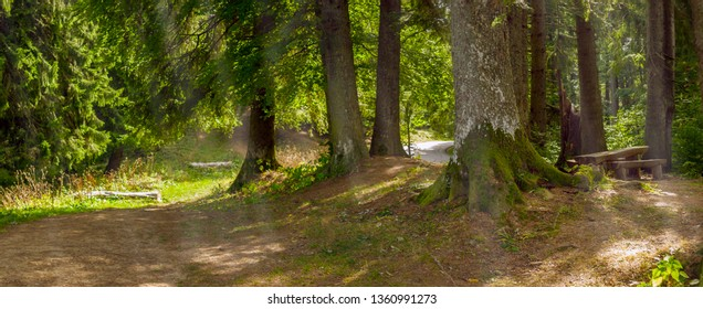Sunbeams passing through fir and cedar trees in a forest. A bench and a wooden table seen on the left. Panorama.