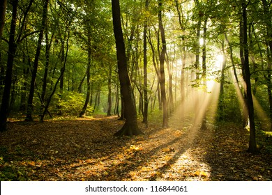Sunbeams pour through trees in forest