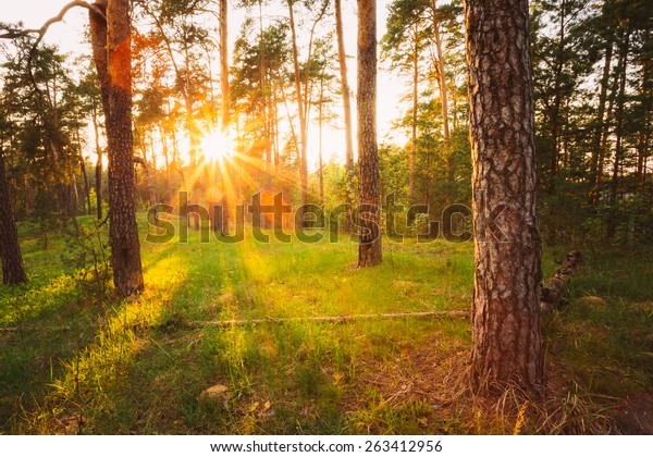 Sunbeams Pour Through Trees In Summer Autumn Forest At Sunset, Sunrise. Russian Nature