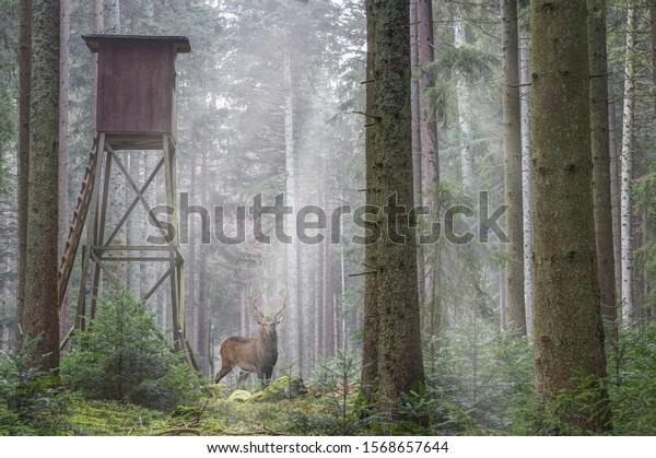 In the sunbeams shrouded in the morning mist, the strong sika deer stands with its head held high, fairytale-like in front of the hunting pulpit of the hunter in the middle of the forest.