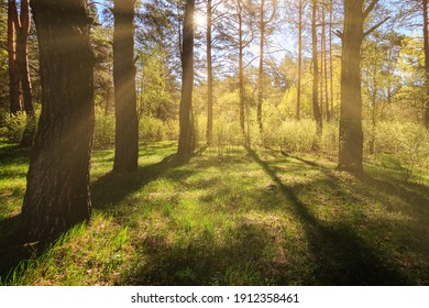 Sunbeams streaming through the pine trees and illuminating the young green foliage on the bushes in the pine forest in spring.