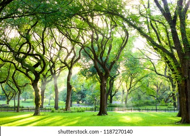 Sunbeams through American Elms in Central Park, New York