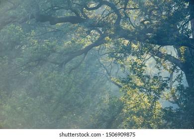 Sunbeams through old tree on misty morning in summer.