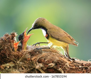 Sun-bird feeding new born chicks