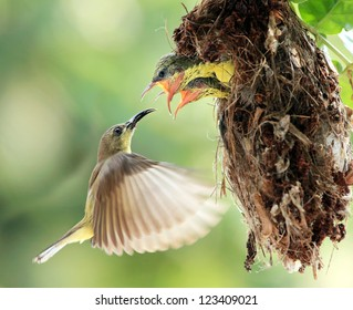 Sun-bird flying feeding new born chicks