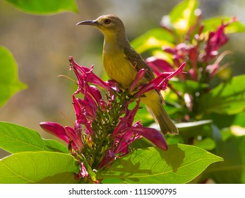 A sunbird honeyeater feeds on red hibiscus shrubs in Thailand