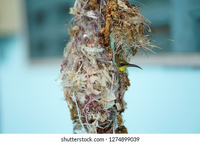 Sunbird with its nest in human's house. It built the nest by use scrap materials. The nest hang on mobile wind bell.