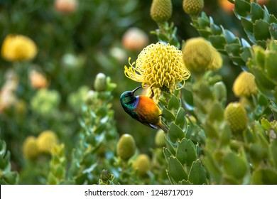Sunbird (orangebreasted) drinking nectar at a yellow protea surrounded from green leaves. The yellow plant is a Common Pincushion.