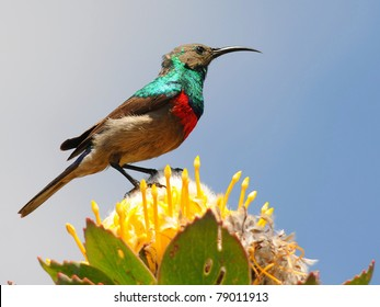 sunbird,South Africa