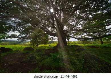 A sunburst is breaking through the dense crown of a tree with many names: Enterolobium cyclocarpum is commonly known as guanacaste, caro caro, or elephant-ear tree.