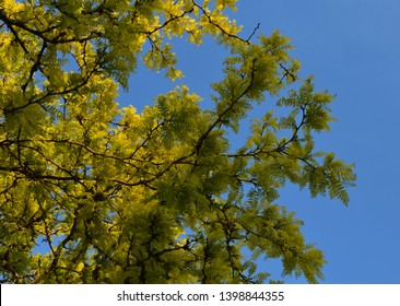 Sunburst Honey Locust tree with yellow leaves