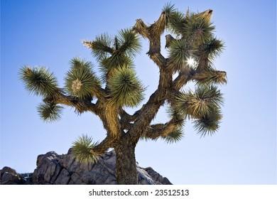Sunburst peeks through a back-lighted joshua tree in Joshua Tree National Park