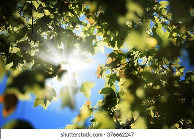 Sunburst shines through the Maple tree leaves.