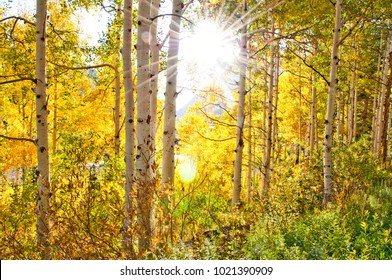 Sunburst Through Aspens