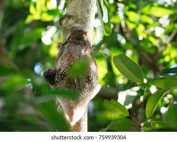 Sunda flying lemur (Galeopterus variegatus) with baby in Bako national park, Borneo, Malaysia