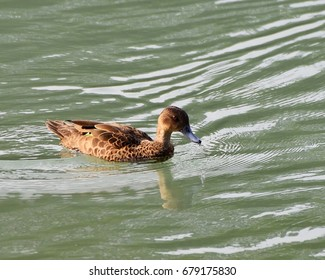 Sunda Teal, an endemic species duck, waterbird or wader swimming in the lake at Tomohon, North Sulawesi, Indonesia. Happy wild animal in natural habitat, free and independent.