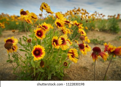 Sundance, Firewheel or Indian Blanket Flowers. Sundance flowers in a meadow.  This flower is also known as Fire Wheel flower,  and Indian Blanket flower. It is the State Wildflowe