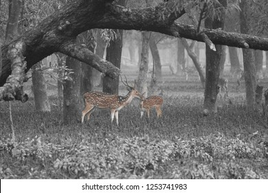 Sundarban Deer Sundarban is the natural habitat of the world's Royal Bengal Tiger and spotted Deer.Deer is very common in the Soundarbans. It is one of the most beautiful dear in the world. They like