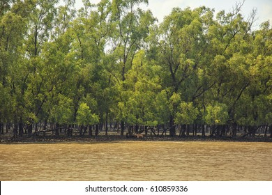 The Sundarbans, September 10, 2016. A landscape view of  The Sundarbans mangrove forest, one of the largest such forests in the world with spot deer.