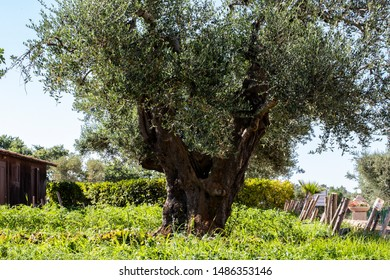 A Sunday in June on a farm in Puglia, a region of southern Italy. A large olive tree stands in the center of the field on the background of bushes and clear skies.