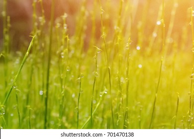 Sunday morning in rainy season concept, dew drops on grass with warm sun light.
