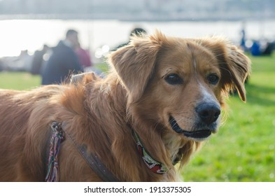 Sunday walk with our pet, happy dog face, golden retriever in free park