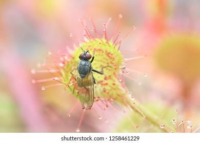 Sundew, Drosera rotundifolia, feeding on a fly, Thricops semicinereus