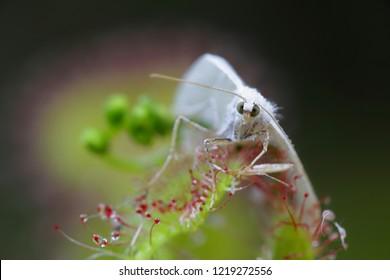 Sundew, Drosera rotundifolia, and its prey