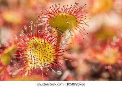 Sundew (drosera rotundifolia) sticky leaves.Leaf of sundew