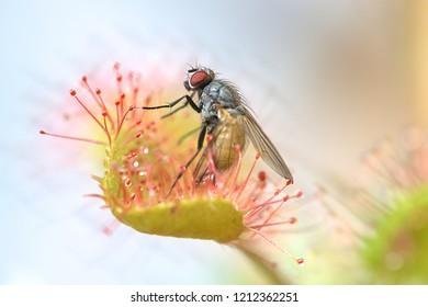 Sundew feeding on a fly