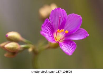 sundew flower in the light