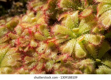 Sundew insectivorous plants with red sticky droplets.