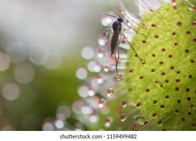 Sundew isolated (drosera intermedia) sticky leaves.Leaf of sundew