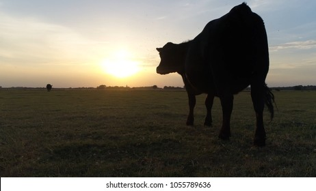 Sundown photo of meadow and Aberdeen Angus cattle looking at sun going under Angus is Scottish breed of small beef cattle it derives from cattle native to the counties of Aberdeenshire and Angus