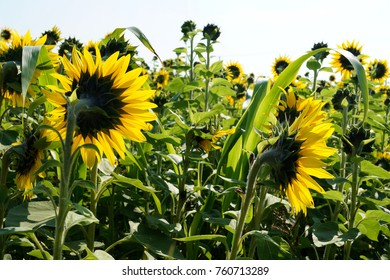 Sun-drenched sunflowers-early autumn