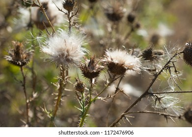 sun-dried dandelion flowers