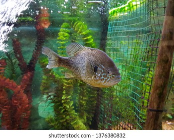Sunfish in aquarium