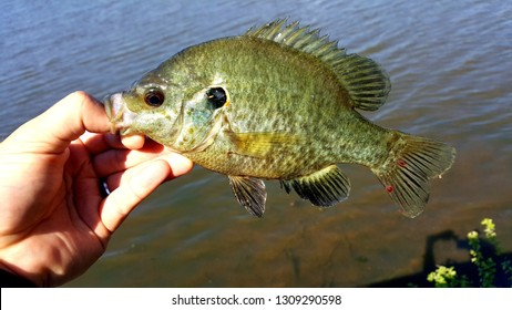 Sunfish caught with lure