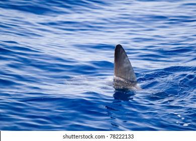 sunfish fin coming out water as a shark metaphor blue sea