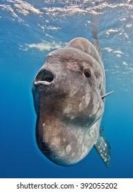 Sunfish Mola mola