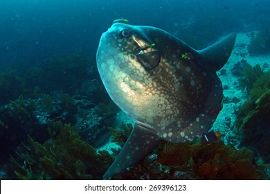 Sunfish Mola Mola in Cleaning station in Galapagos