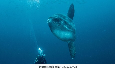 sunfish , mola mola in nunsa penida, bali